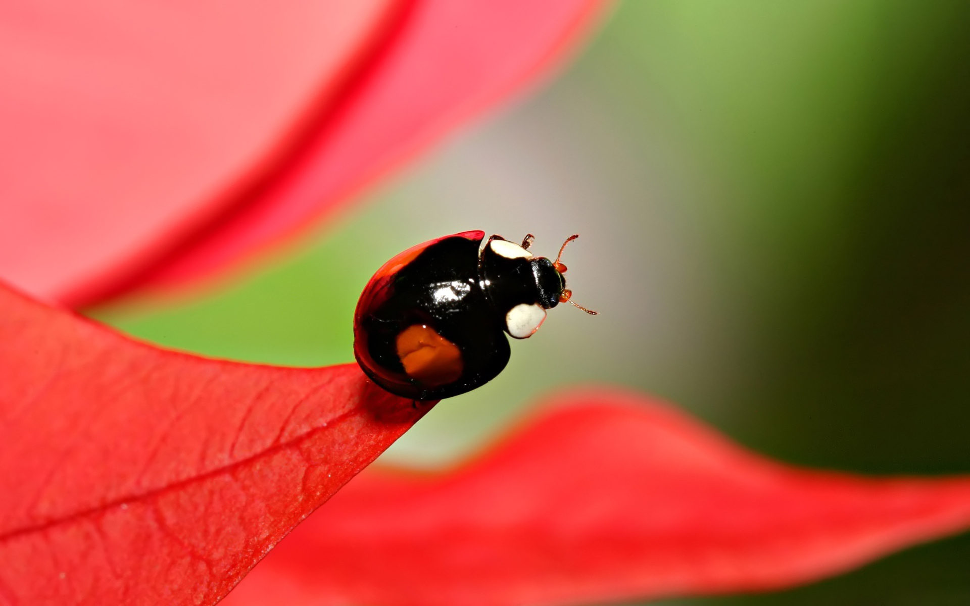 black ladybird high quality free wallpapers photochill