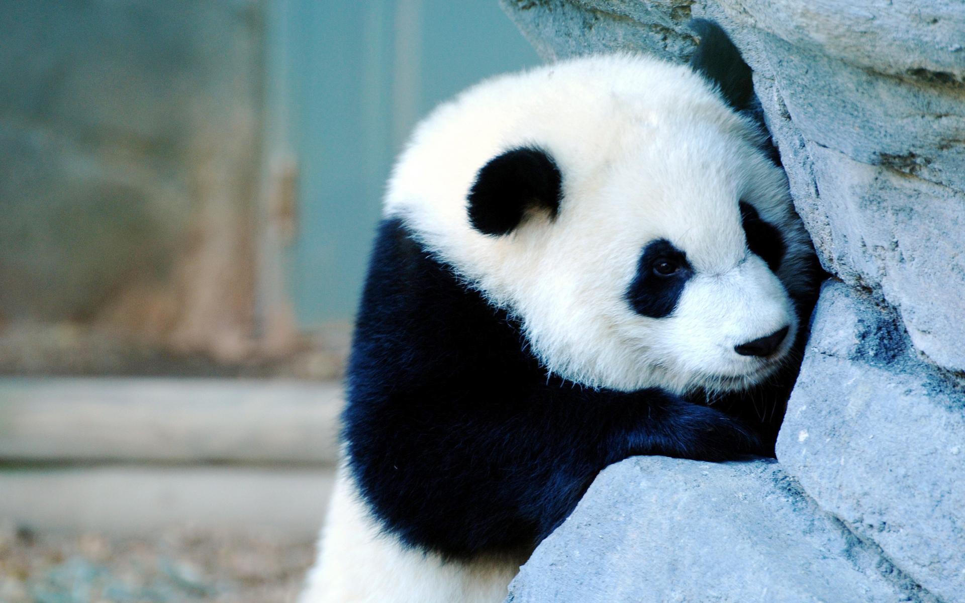 Cute Baby Panda Pics: Beautiful Animals Wallpapers HD Desktop Widescreen Free